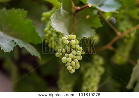 Row Of Grapes With Vine Leafs