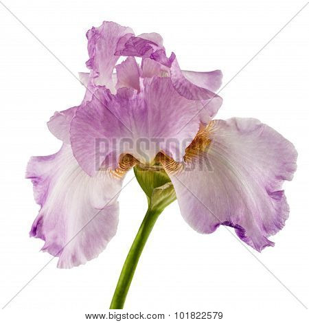 Violet Flower Of Iris, Isolated On White Background