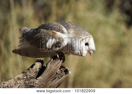 Barn Owl, Australia