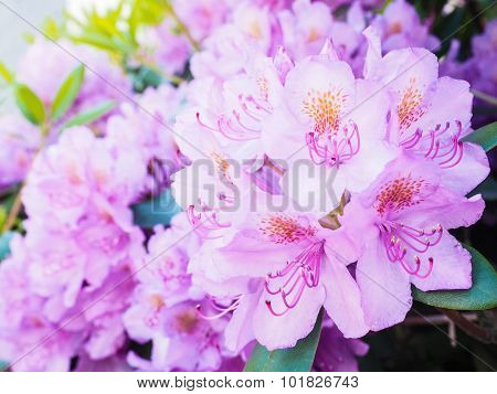 Rhododendron Flower, Magenta Color