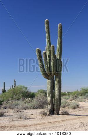 Two Giant Saguaro  Cactus.