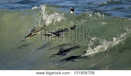 Swimming African Penguins.
