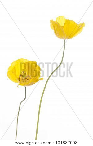 Wild Yellow Poppies