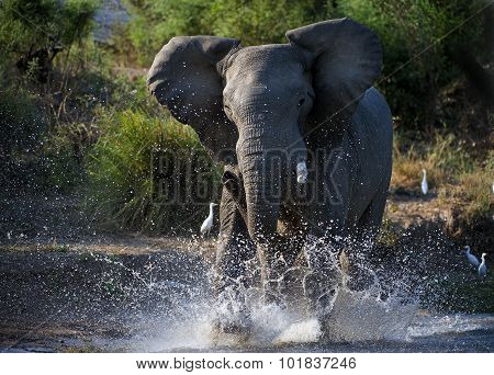 African Elephant Have Angered In The River Zambezi.