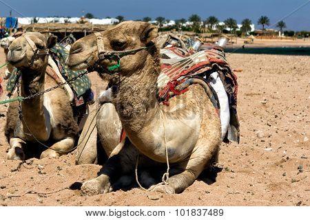 Camel sitting in Egiptian oasis