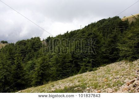 Cedar forest situated on Lebanon mountains
