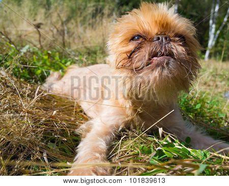 Dog portrait breed Griffon Buxellois