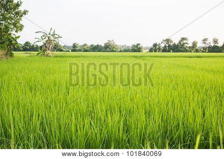 Rural Rice Field Green Grass