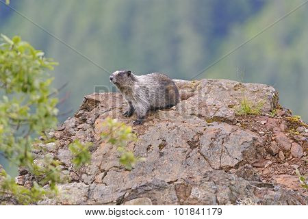 Hoary Marmot On A Mountain Outcrop