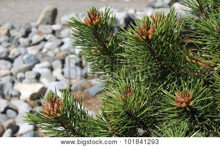 Pine Trees and Needles