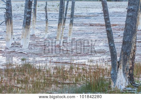 Dead Lodgepole Pines In Grass