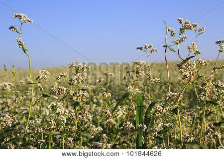 Beautiful summer field of buckwheat. Plant close up.