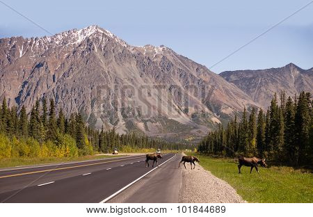 Cow Moose Leads Two Calves Across Road Near Denali Alaska