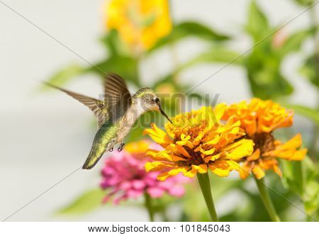 Female Ruby-throated Hummingbird feeding on an orange flower in summer garden
