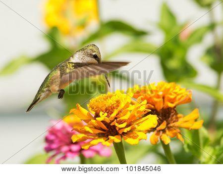 Ruby-throated Hummingbird feeding on a bright orange Zinnia flower in summer garden