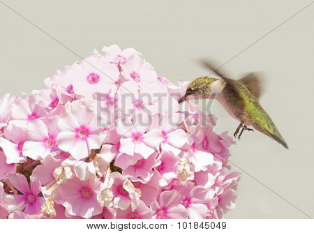 Juvenile male Hummingbird feeding on pink Phlox blooms with gray background