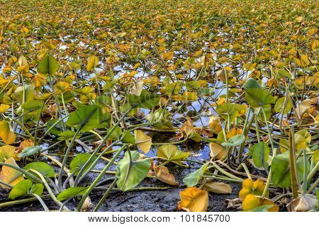 Lilypads In Shallow Water.