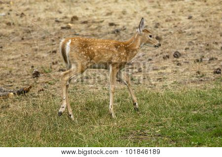 Profile Of Small Deer.