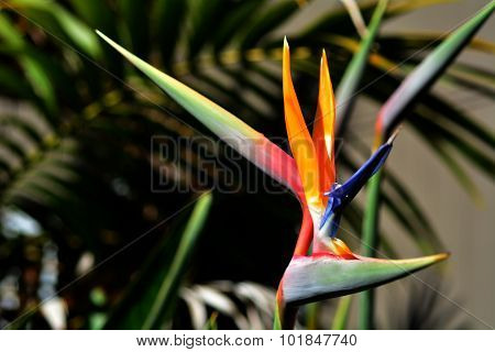 Bird Of Paradise Flower - Strelitzia Reginae