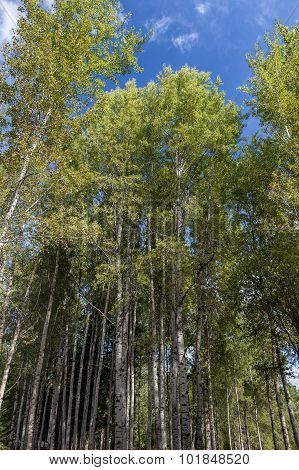 Aspen Trees Rising Up To The Sky.