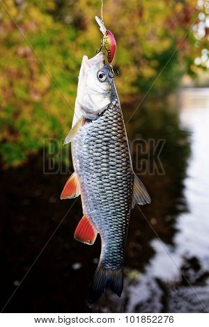 Chub caught on a plastic bait, autumn scenics, toned image