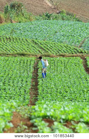 Unidentified farmer sprayer their cabbage field, Petchabun, Thailand