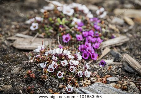 Purple Saxifrage Blossoming In The Summer