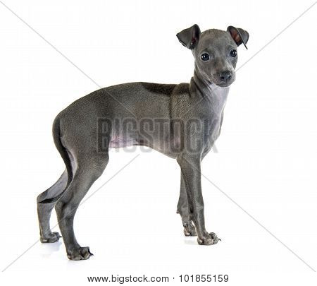 Puppy Italian Greyhound