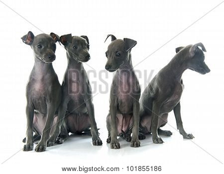 Puppies Italian Greyhound