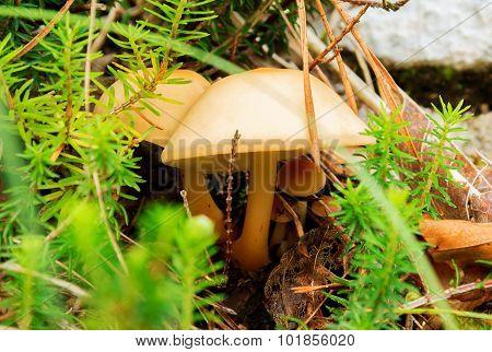Mycetinis Scorodonius mushroom