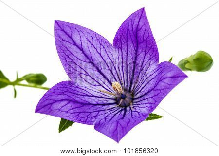 Purple Flower Of Platycodon (platycodon Grandiflorus) Or Bellflowers, Isolated On White Background