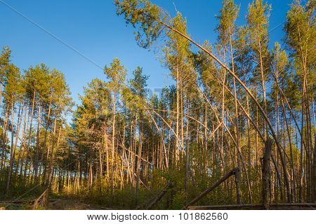 Sunny Day In Summer Sunny Coniferous Forest Trees. Nature Woods