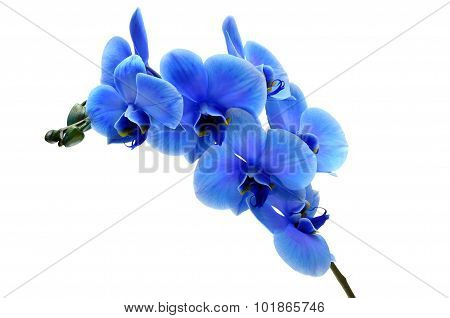 Blue Flower Orchid Isolated On White Background