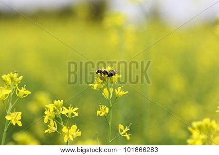Mustard Plant Pollated With Bee