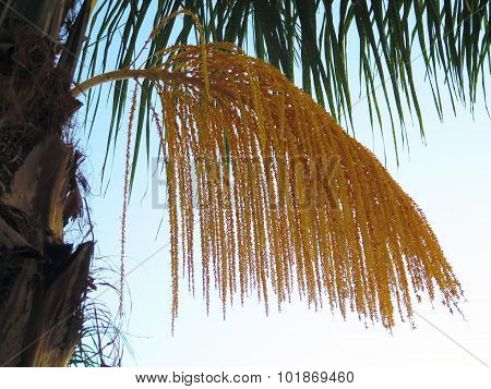 New Fruits On Date Palm