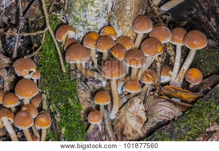 Colonia Poisonous Mushrooms