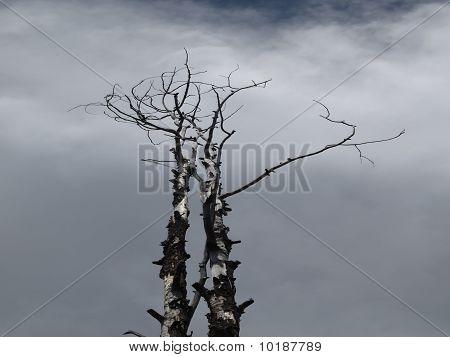 Beetle Kill Pine Tree in Colorado
