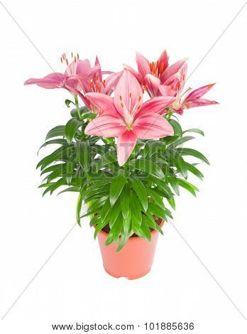 Pink lily in flowerpot isolated on white background