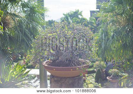 Adenium obesum bonsai tree in flower pot
