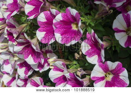 Petunia Flowers