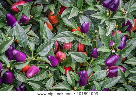 background of hot loco pepper plant in garden, loco is a compact multi branching chili producing a heavy crop of  upright facing vivid purple peppers
