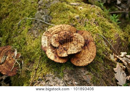Yellow bracket fungus growing on a decaying log