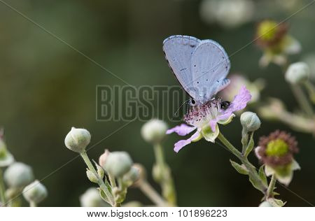 Holly Blue Butterfly On A Flower