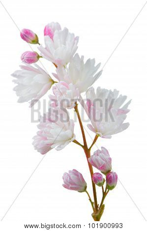 Deutzia Scabra Flowers On White Background
