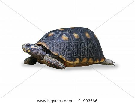 spur-thighed turtle isolated over white
