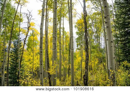 Colorful Colorado Aspen Trees in the Fall