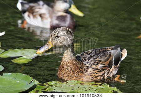Mallard.The young bird,female.