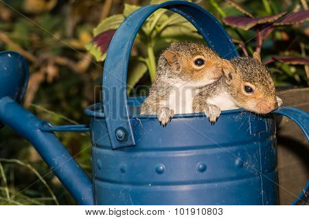Baby Gray Squirrels