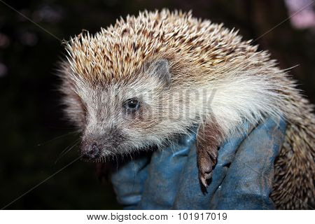 Hedgehog In The Man's Hand