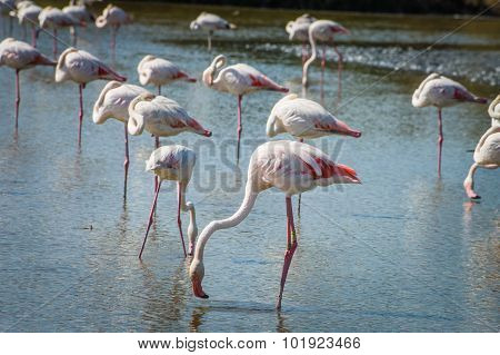 Pink Flamingo (phoenicopterus Ruber) In Camargue, France